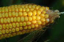Free Corn 8242006 Royalty Free Stock Photo - 5528125