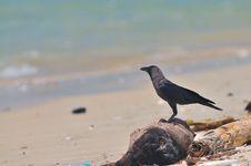 Free Black Raven Royalty Free Stock Photos - 5528458