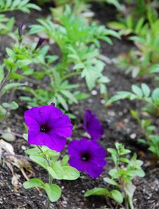 Free Purple Flowers Royalty Free Stock Photos - 5528508