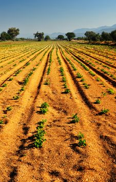 Free Vegetable Farm Stock Photography - 5528622