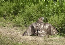 Free Hawk With Prey Royalty Free Stock Image - 5528626