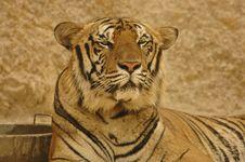 Free Burmese Tiger Stock Image - 5528701
