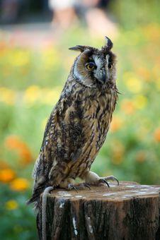 Free Owl On A Stub Royalty Free Stock Photo - 5528915