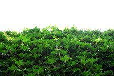 Free Vine Stock Image - 5528941