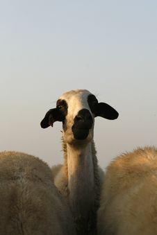 Free Sheep Royalty Free Stock Photography - 5529037