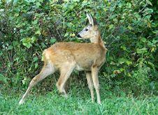 Free Roe Deer. Royalty Free Stock Photos - 5529228