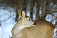 Free Roe Deer Royalty Free Stock Photos - 5529238