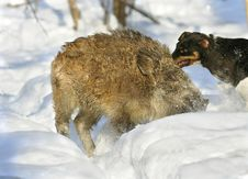 Wild Boar Hunting Stock Photography