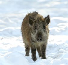 Free Baby Of Wild Boar Stock Images - 5529294