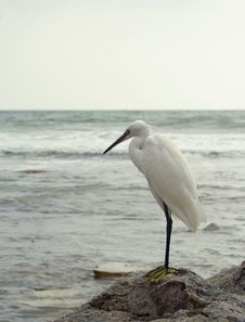 Free White Heron Stock Photos - 5529303