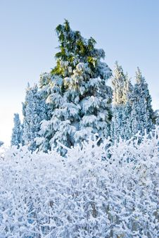 Free Pine Tree Under Snow Royalty Free Stock Photo - 5529955