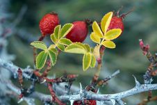 Free Red Wild Berries In Winter, Close-up Royalty Free Stock Image - 55203376