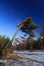 Free Pine Tree Royalty Free Stock Photos - 5533118