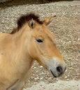 Free Horse Przhevalskogo Equus Przewalskii Royalty Free Stock Image - 5535396