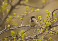Free Little Sparrow Bird Royalty Free Stock Photos - 5538738