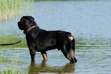 Free A Rottweiler Stock Photography - 5530212
