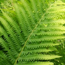 Free Fern Stem Stock Image - 5530531