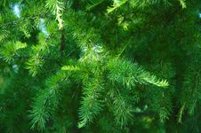 Conifer Branchlets. Royalty Free Stock Images
