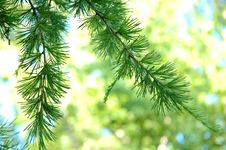 Conifer Branchlets. Royalty Free Stock Photos