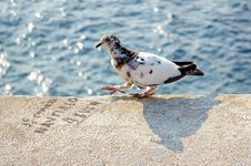 Free Walking Pigeon Royalty Free Stock Photos - 5531348