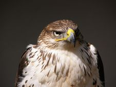 Free Falcon Stock Images - 5531594
