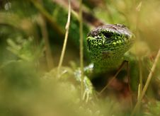 Free Lizard Royalty Free Stock Photography - 5532297