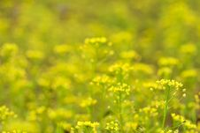 Free Yellow Flowers Field Background Stock Images - 5532384