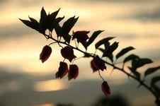Free Bougainvillea Spectabilis Willd Royalty Free Stock Photo - 5532395