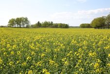 Free Oilseed Rape Royalty Free Stock Photos - 5532568