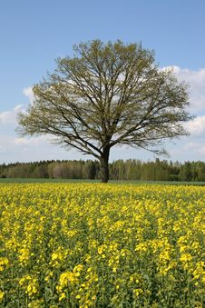 Free Tree And Oilseed Rape Stock Photography - 5532572