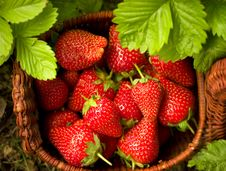 Free Strawberries In A Basket Royalty Free Stock Images - 5532699