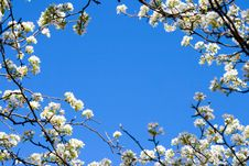 Free Closeup Abloom Apple Tree Royalty Free Stock Photography - 5533397