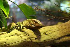 Free Iguana On Log Stock Photos - 5533473
