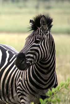 Free African Zebra Royalty Free Stock Photography - 5533487