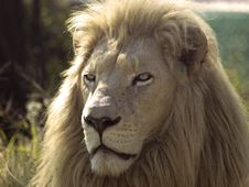 Free Majestic Male Lion Royalty Free Stock Photos - 5533618