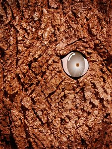 Free An Eye In A Tree Stock Image - 5534361