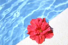 Pink Hibiscus Floating On Swimming Pool (have Spac Stock Photo