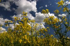 Free Rape Flower Stock Images - 5535284