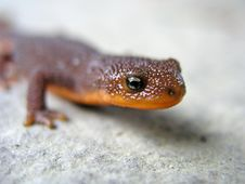 Free Close Up Lizard Royalty Free Stock Images - 5535319