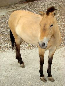 Free Horse Przhevalskogo Equus Przewalskii Stock Images - 5535504