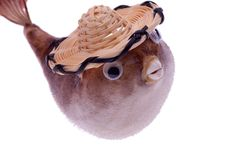 Free Dried Puffer Fish In Hat Stock Photo - 5535780