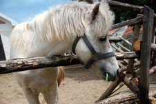 White Horse Turned Royalty Free Stock Photo