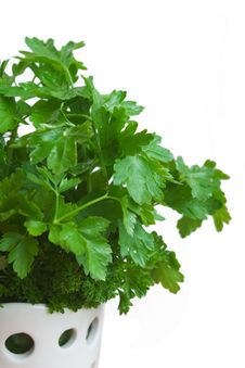 Free Parsley In White Vase Royalty Free Stock Photography - 5535887