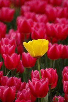 Free Tulip Royalty Free Stock Photography - 5536107