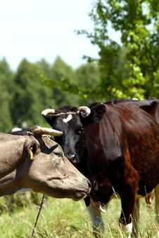 Free Cows Royalty Free Stock Image - 5536656