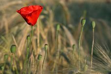 Free Red Poppy Stock Images - 5536664