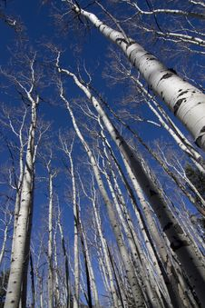 Free Colorado Aspen Royalty Free Stock Photography - 5538167