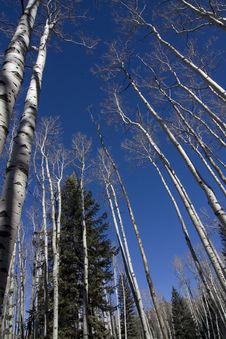Free Colorado Aspen Royalty Free Stock Photo - 5538175