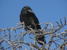 Free Raven Stock Photo - 5538430