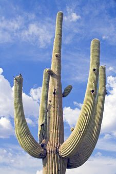 Free Saguaro Cactus. Royalty Free Stock Photography - 5539007